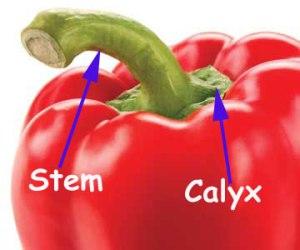 Stem-and-calyx-pepper